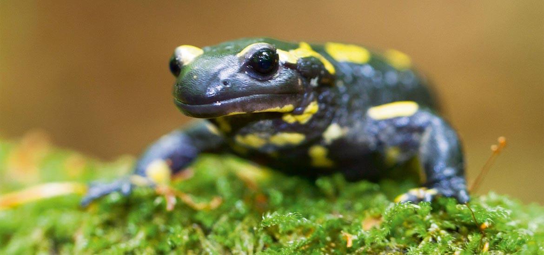 salamandre-tachetee